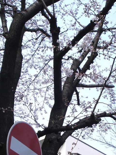 Sakura08032302_2