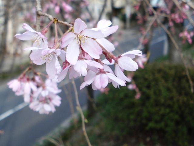 Sakura08032303_2
