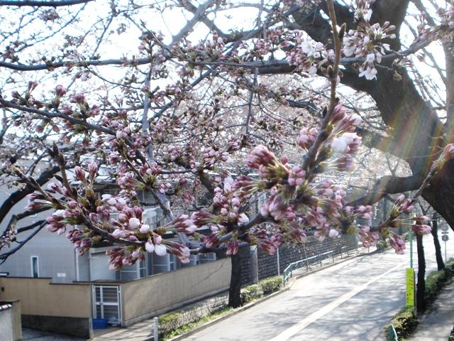 Sakura08032501