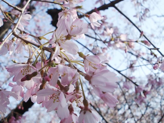 Sakura08032502