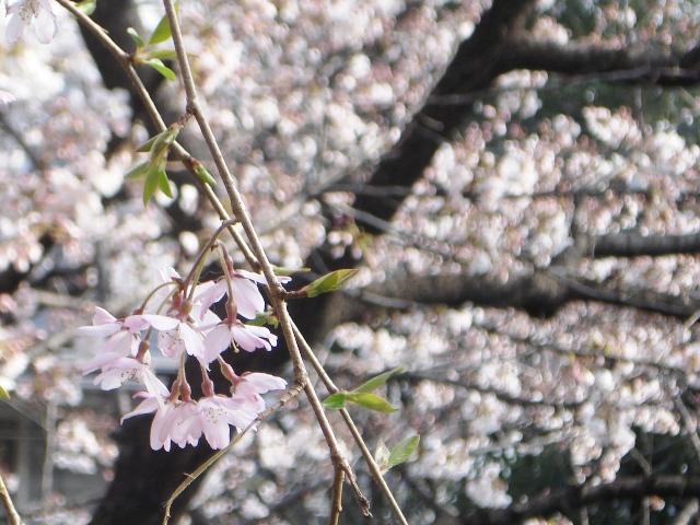 Sakura08032602