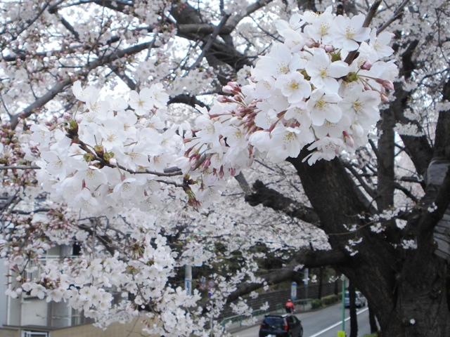Sakura08032701