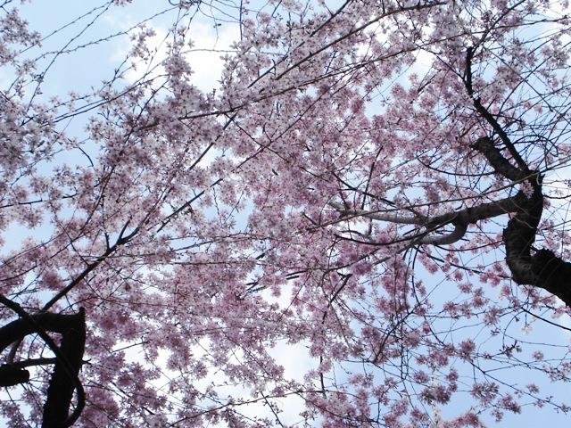 Sakura08032702