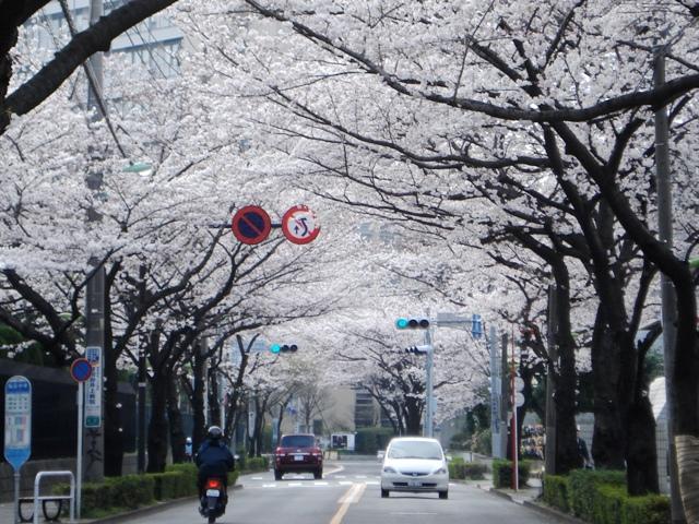 Sakura08032703