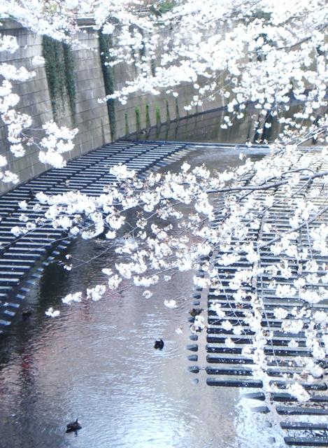 Sakura08032706