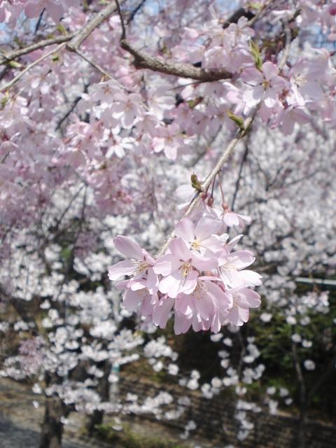 Sakura08032803