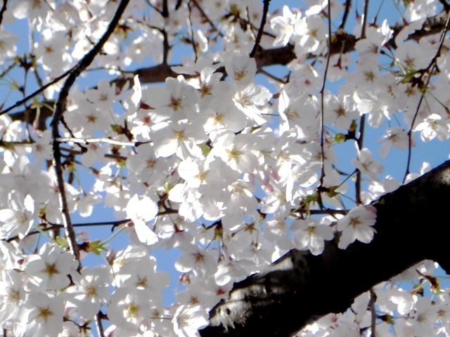 Sakura080402
